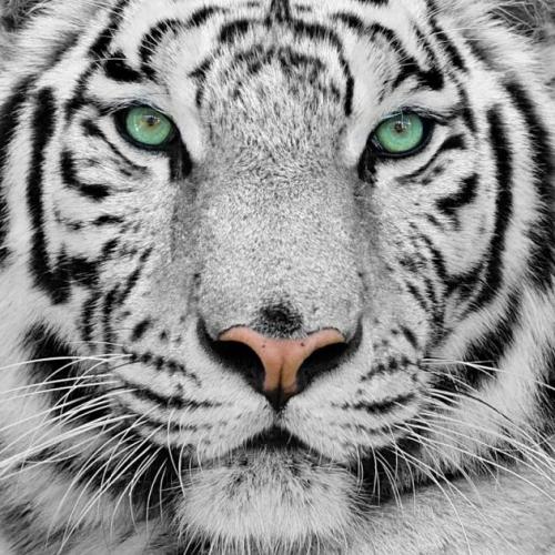 Если мужчина Тигр...